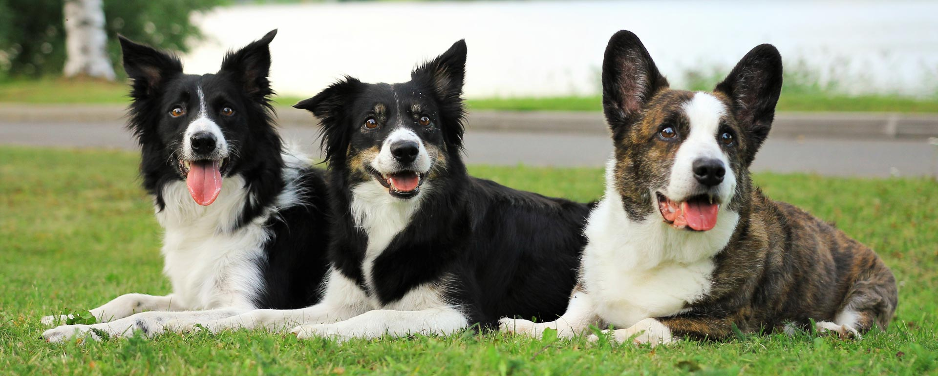 Kolme koiraa makaa nurmikolla
