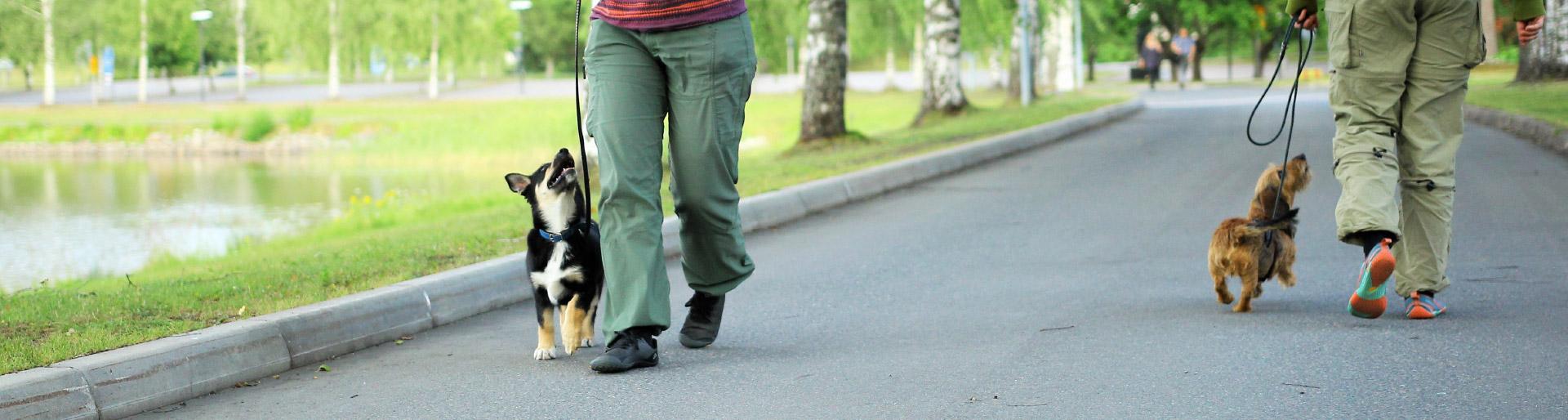 Kuvituskuva - kaksi koiraa harjoittelevat ohittamista ja seuraamista